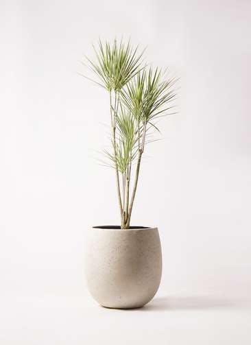 観葉植物 コンシンネ ホワイポリー 8号 ストレート テラニアス バルーン アンティークホワイト 付き