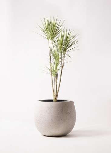 観葉植物 コンシンネ ホワイポリー 8号 ストレート テラニアス ローバルーン アンティークホワイト 付き