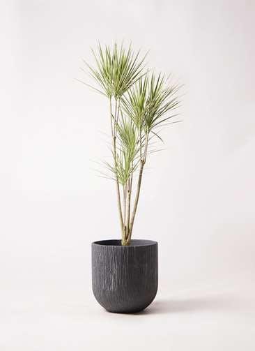 観葉植物 コンシンネ ホワイポリー 8号 ストレート カルディナダークグレイ 付き