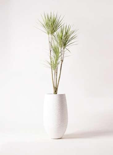 観葉植物 コンシンネ ホワイポリー 8号 ストレート フォンティーヌトール 白 付き