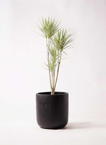 観葉植物 コンシンネ ホワイポリー 8号 ストレート エルバ 黒 付き