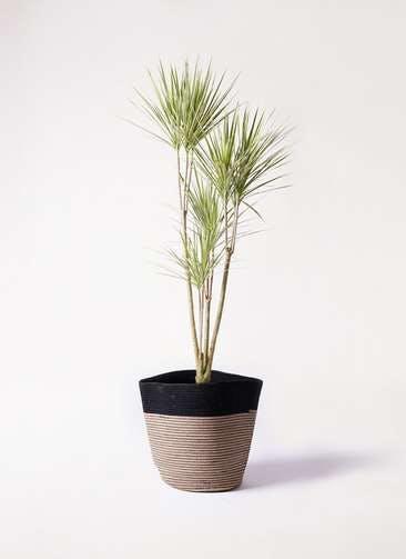 観葉植物 コンシンネ ホワイポリー 8号 ストレート リブバスケットNatural and Black 付き