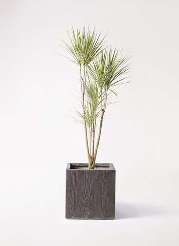 観葉植物 コンシンネ ホワイポリー 8号 ストレート ベータ キューブプランター ウッド 茶 付き