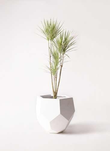 観葉植物 コンシンネ ホワイポリー 8号 ストレート ポリゴヘクサ 白 付き