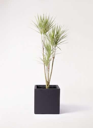 観葉植物 コンシンネ ホワイポリー 8号 ストレート ベータ キューブプランター 黒 付き