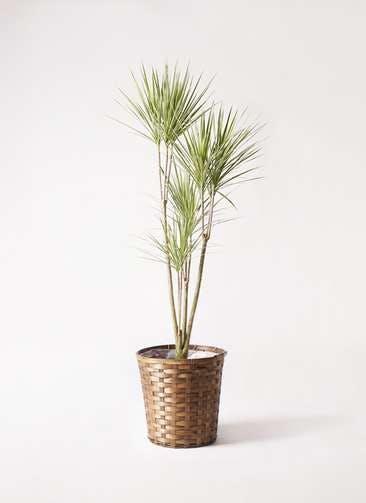 観葉植物 コンシンネ ホワイポリー 8号 ストレート 竹バスケット 付き