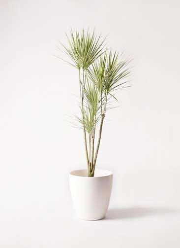 観葉植物 コンシンネ ホワイポリー 8号 ストレート ラスターポット 付き