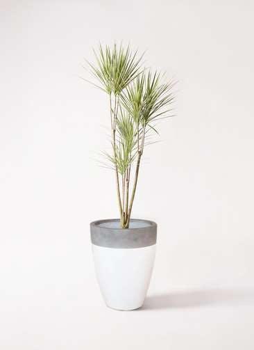 観葉植物 コンシンネ ホワイポリー 8号 ストレート ファイバーストーンカプリ 白 付き