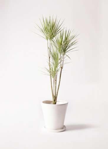 観葉植物 コンシンネ ホワイポリー 8号 ストレート サブリナ 白 付き