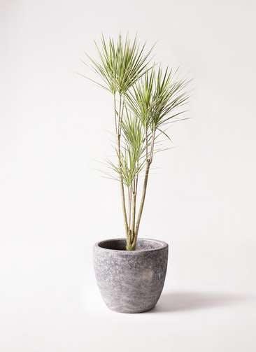 観葉植物 コンシンネ ホワイポリー 8号 ストレート アビスソニアミドル 灰 付き