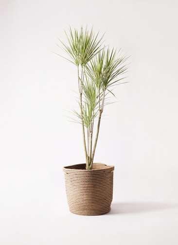 観葉植物 コンシンネ ホワイポリー 8号 ストレート リブバスケットNatural 付き