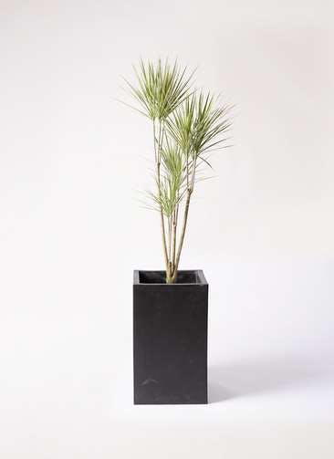 観葉植物 コンシンネ ホワイポリー 8号 ストレート セドナロング 墨 付き