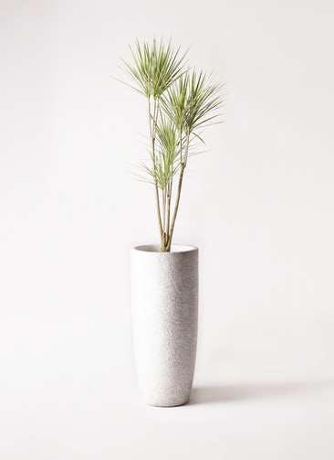 観葉植物 コンシンネ ホワイポリー 8号 ストレート エコストーントールタイプ white 付き