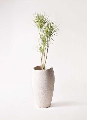 観葉植物 コンシンネ ホワイポリー 8号 ストレート エコストーントールタイプ Light Gray 付き