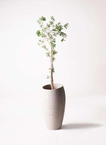 観葉植物 ガジュマル 8号 パンダ エコストーントールタイプ Light Gray 付き