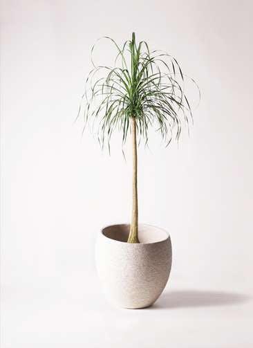 観葉植物 トックリラン ポニーテール 10号 エコストーンLight Gray 付き