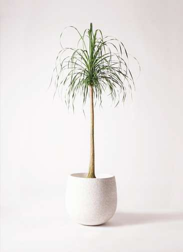 観葉植物 トックリラン ポニーテール 10号 エコストーンwhite 付き