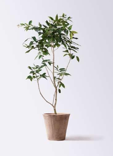 観葉植物 アマゾンオリーブ (ムラサキフトモモ) 10号 ルーガ アンティコ ソリッド 付き