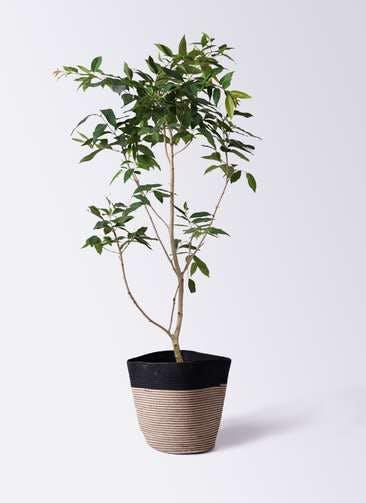 観葉植物 アマゾンオリーブ (ムラサキフトモモ) 10号 リブバスケットNatural and Black 付き