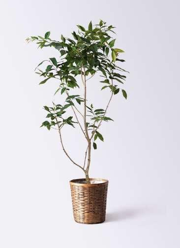 観葉植物 アマゾンオリーブ (ムラサキフトモモ) 10号 竹バスケット 付き