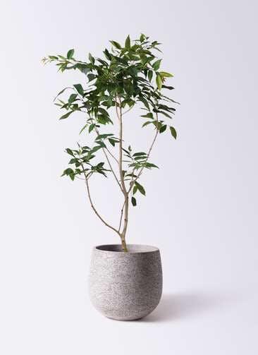 観葉植物 アマゾンオリーブ (ムラサキフトモモ) 10号 エコストーンGray 付き