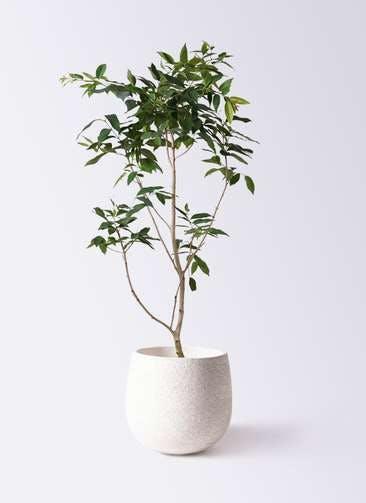 観葉植物 アマゾンオリーブ (ムラサキフトモモ) 10号 エコストーンwhite 付き