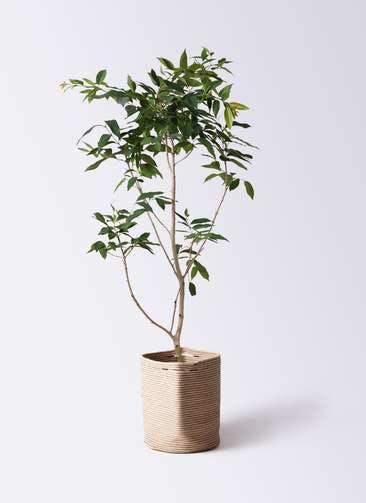 観葉植物 アマゾンオリーブ (ムラサキフトモモ) 10号 リブバスケットNatural 付き