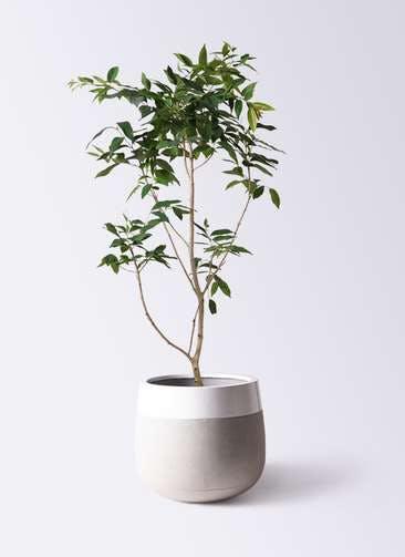 観葉植物 アマゾンオリーブ (ムラサキフトモモ) 10号 ファイバーストーンタウルス ミドル 白 付き
