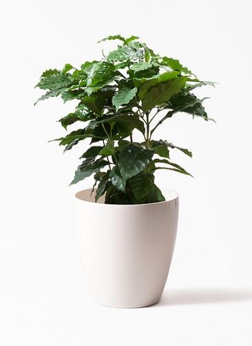 観葉植物 コーヒーの木 7号 ラスターポット white 付き