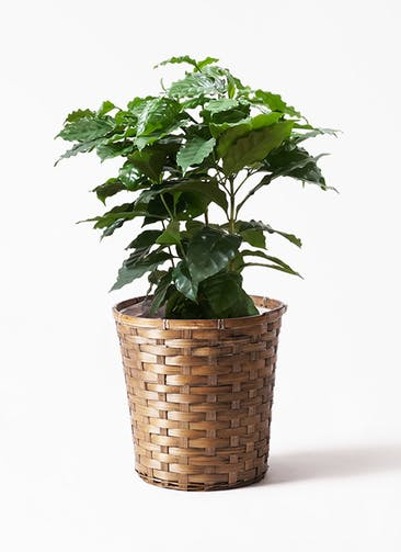 観葉植物 コーヒーの木 7号 竹バスケット 付き