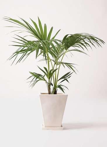 観葉植物 ケンチャヤシ 8号 スクエアハット 白 付き