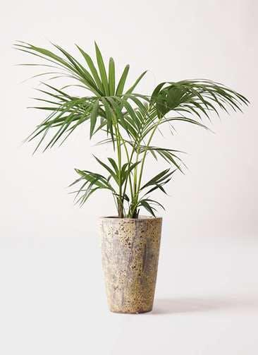 観葉植物 ケンチャヤシ 8号 アトランティス クルーシブル 付き