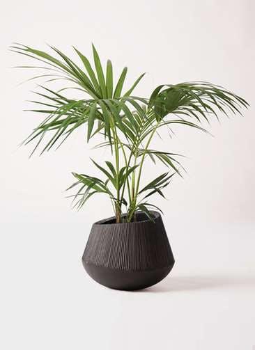 観葉植物 ケンチャヤシ 8号 エディラウンド 黒 付き