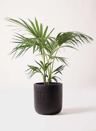 観葉植物 ケンチャヤシ 8号 エルバ 黒 付き