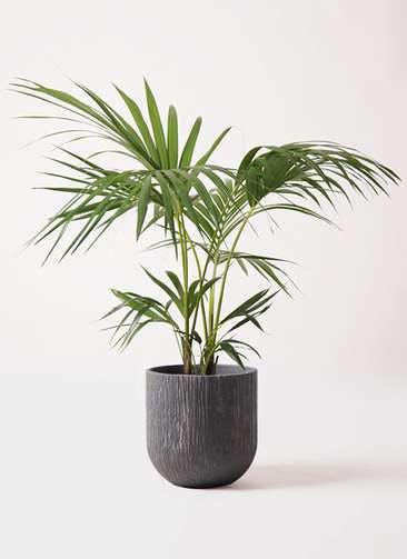 観葉植物 ケンチャヤシ 8号 カルディナダークグレイ 付き