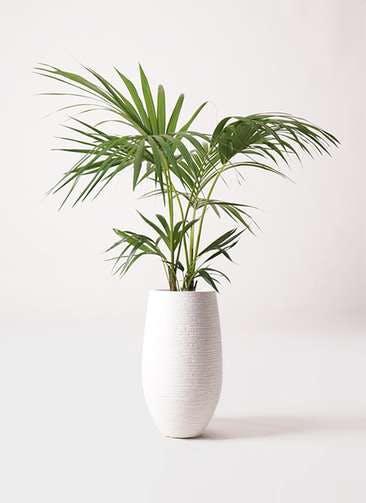 観葉植物 ケンチャヤシ 8号 フォンティーヌトール 白 付き