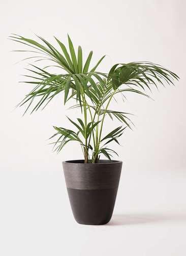 観葉植物 ケンチャヤシ 8号 ジュピター 黒 付き