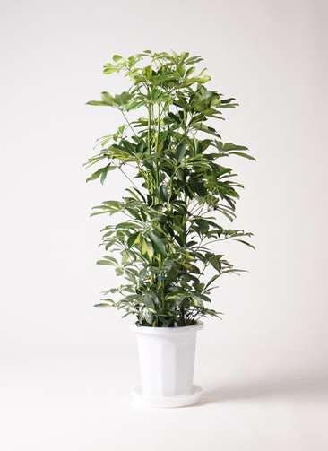 観葉植物 カポック(シェフレラ) 8号 斑入り プラスチック鉢