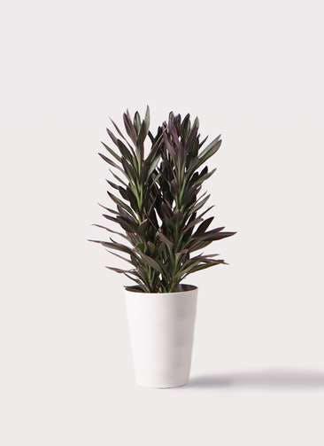 観葉植物 コルディリネ (コルジリネ) サンゴ 7号 プラスチック鉢