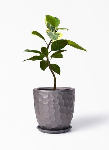 観葉植物 フィカス アルテシーマ 7号 曲り サンタクルストール ブロンズ 付き