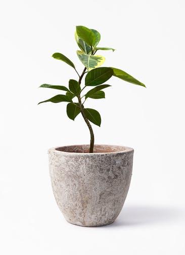 観葉植物 フィカス アルテシーマ 7号 曲り アビスソニア ラウンド 付き