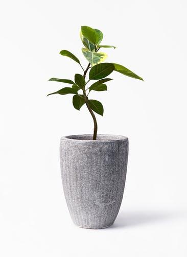 観葉植物 フィカス アルテシーマ 7号 曲り アビスソニア トール 灰 付き