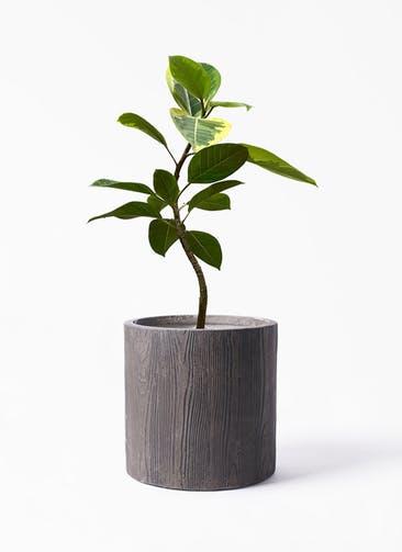 観葉植物 フィカス アルテシーマ 7号 曲り アルファ シリンダープランター ウッド 付き