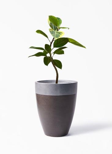 観葉植物 フィカス アルテシーマ 7号 曲り ファイバーストーン カプリ マッドブラウン 付き