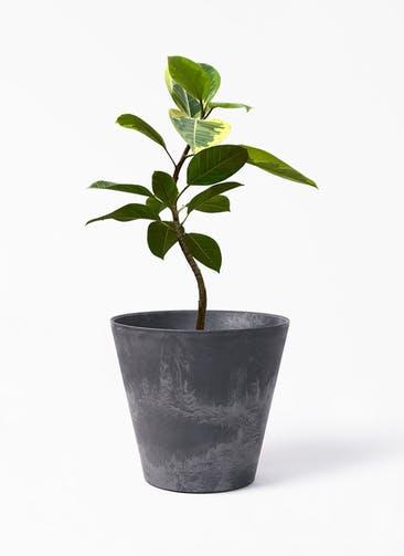 観葉植物 フィカス アルテシーマ 7号 曲り アートストーン ラウンド ブラック 付き