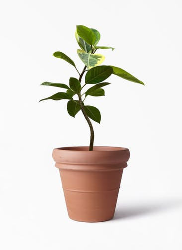 観葉植物 フィカス アルテシーマ 7号 曲り トスカーナ リムポット 付き