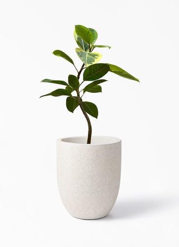 観葉植物 フィカス アルテシーマ 7号 曲り フォリオアルトエッグ クリーム 付き