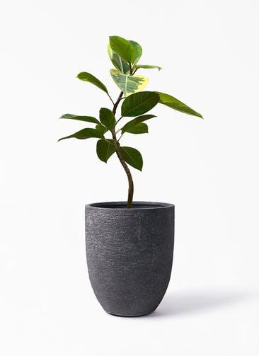 観葉植物 フィカス アルテシーマ 7号 曲り ビアスアルトエッグ ブラック 付き