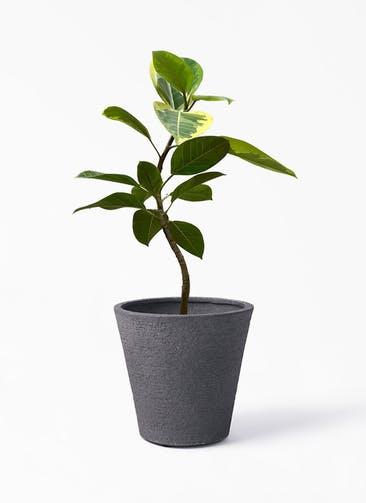 観葉植物 フィカス アルテシーマ 7号 曲り ビアスソリッド ブラック 付き
