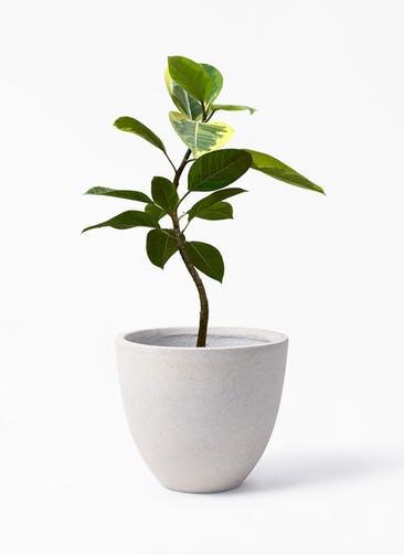観葉植物 フィカス アルテシーマ 7号 曲り スタウト アッシュラウンド 付き